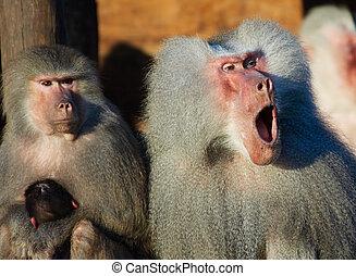 scimmia, famiglia
