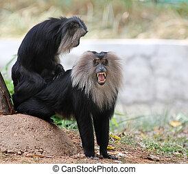 scimmia, india, -, minacciato, messo pericolo, lion-tailed,...