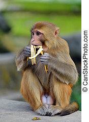 scimmia, mangiare, uno, banana