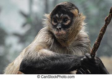 scimmia ragno