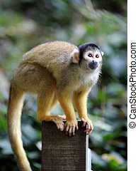 scimmia scoiattolo