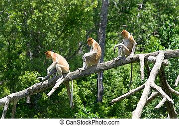 scimmie proboscis