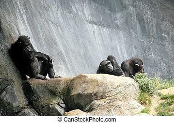 scimpanzé, rilassante, th
