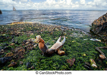 Scissors and shield remains of north sea crab on the shores and rocks of the greveling lake in the netherlands