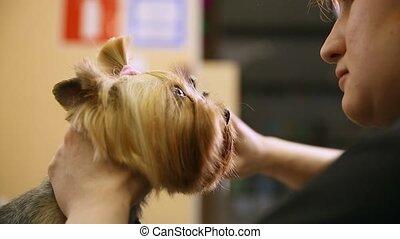 Scissors cut hair on the dog's face. close-up. hair salon for animals