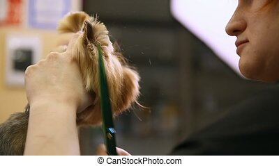 Scissors cut hair on the dog's face. close-up. Professional groomer