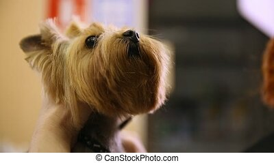 Scissors cut hair on the dog's face. close-up. Yorkshire Terrier Haircut