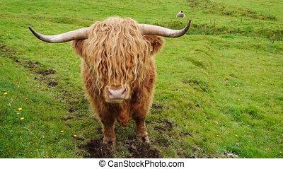 Scittish highland cow - Light blond Scottisch highland cow...