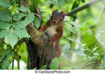 Sciurus vulgaris is a red common squirrel