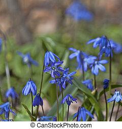 Sclera, or Scylla (Latin Scilla) - a genus of low perennial...
