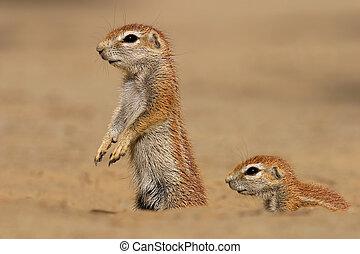 scoiattoli, suolo