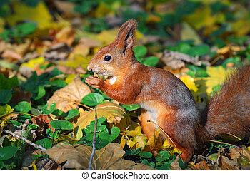 scoiattolo, in, foresta autunno