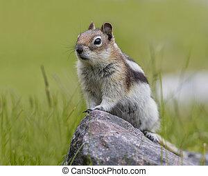 scoiattolo, parco, nazionale,  -,  golden-mantled, diaspro, suolo
