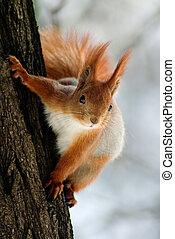 scoiattolo, su, il, albero, gambo