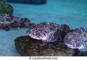 scorpaena, escorpión, rockfish, california, guttata, llamado