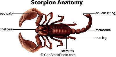 Scorpion Anatomy - Illustration showing the anatomy of a...