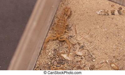 Scorpion on Sandy Ground - Steady, high angle, medium close...