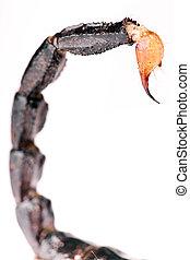 scorpion, queue, isolé, blanc, arrière-plan.