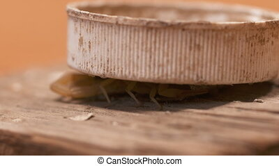 Scorpion Underneath Lid - Steady, close up shot of a ...