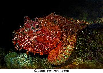 scorpionfish, adriático, (scorpaena), mar