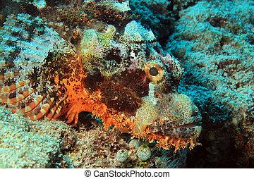 scorpionfish, barbudo