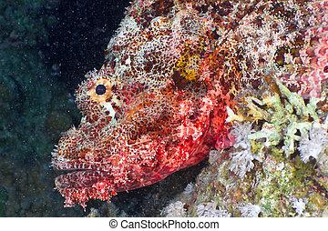 scorpionfish, cabeza