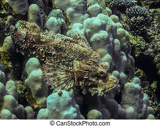scorpionfish, corales, miradas, blanco, barbudo