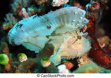 scorpionfish, hoja