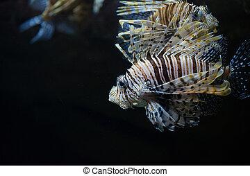 scorpionfish, mar