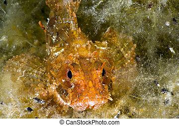 scorpionfish, mar negro