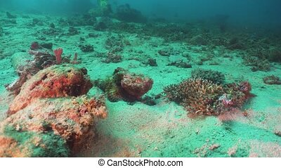 Scorpionfish on Coral reef. Philippines, Mindoro -...