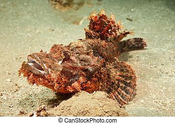 scorpionfish, smallscale