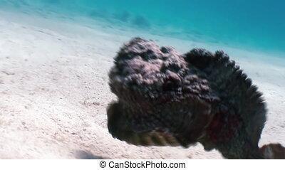 Scorpionfish stonefish scorpaenopsis diaboblus. -...