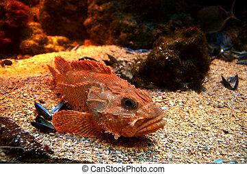 scorpionfish, vida, rojo