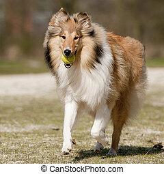 Scotch Collie running with a ball - Scotch Collie running...