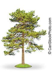 Scotch fir on white - Scots Pine (Pinus sylvestris) isolated...