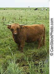 Scotch Highlander cow