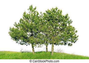 Scotch pine (Pinus sylvestris) isolated on a white ...