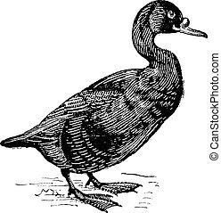 Scoter or Melanitta nigra, vintage engraving - Scoter or...