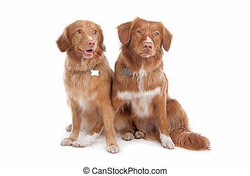 scotia, zwei, nova, ente, tolling, hunden, apportierhund