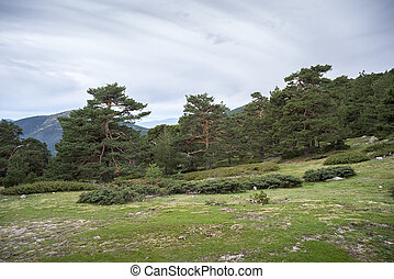 Scots pine forest in Guadarrama Mountains