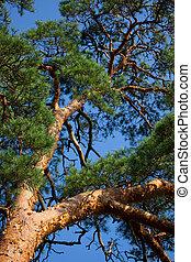 Scots Pine (Pinus sylvestris) against blue sky