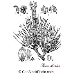 Scots pine,botanical vintage engraving