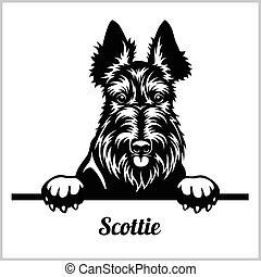 Scottie - Peeking Dogs - breed face head isolated on white