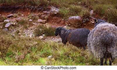 Scottish Black Sheeps In Heavy Rain - Graded Version -...