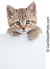 Scottish cat kitten behind banner isolated on white