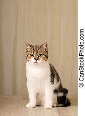 Scottish cat portrait - Pretty purebred scottish cat indoor ...