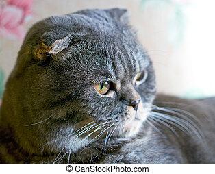 Scottish cat - Portrait of the Scottish cat on light...