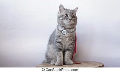 This stock video sh ows a middle plan of a four-month-old gray-striped gray striped kitten with a QR code on the collar. The icon is designed to search for the loss of a pet