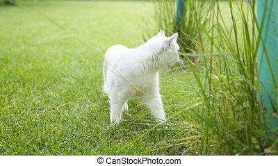 Scottish chinchilla domestic cat straight-legged walks outdoors and eats grass